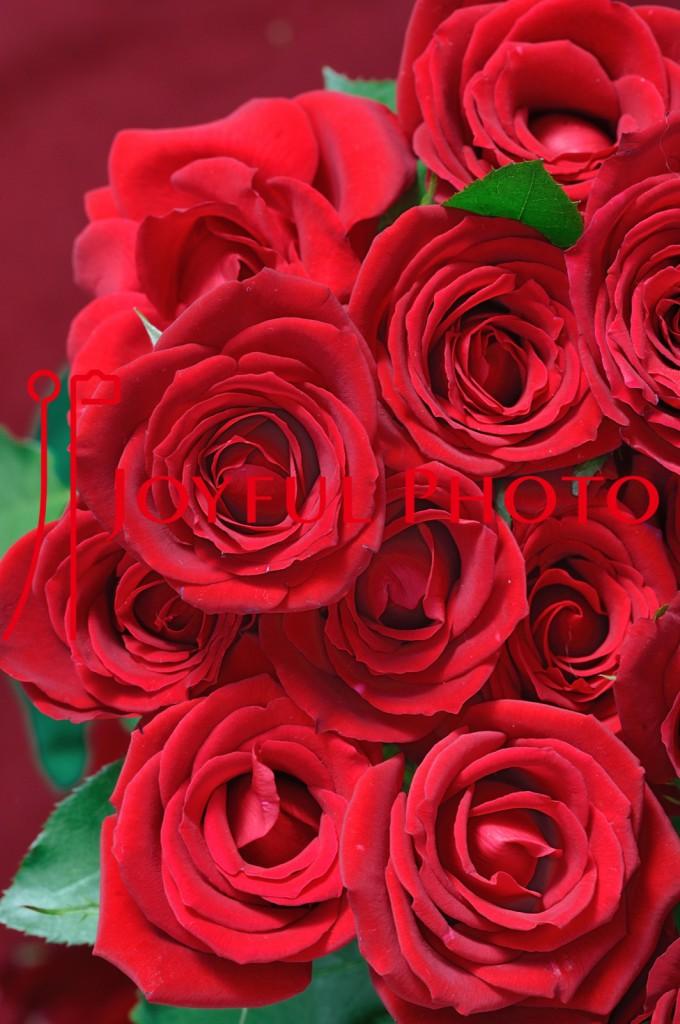 ローズコンサート広告用写真 薔薇